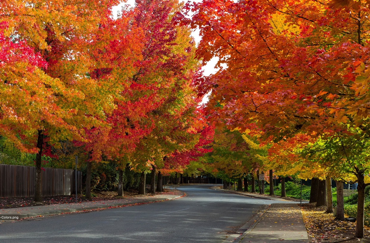 Suburban colorful tree-lined street with several fenced yards.