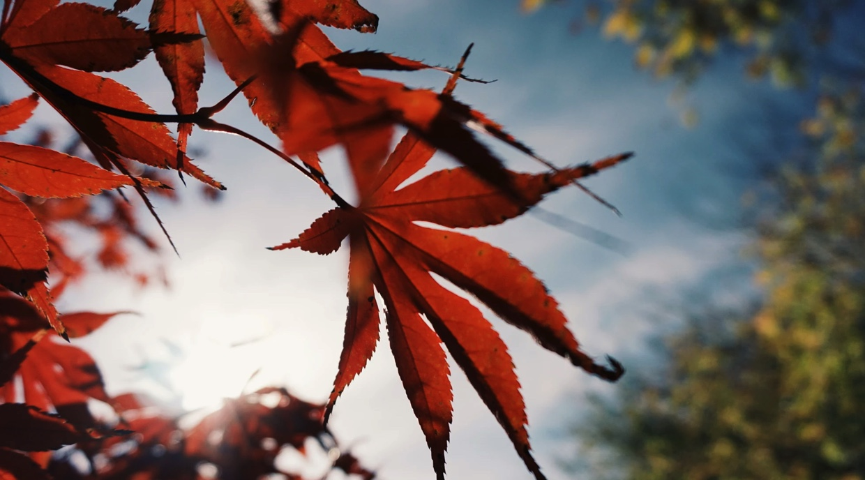 A section of deep orange and red leaves on a tree with a blue sky, clouds and sun in the background.
